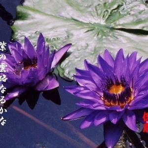 紫睡蓮、団扇