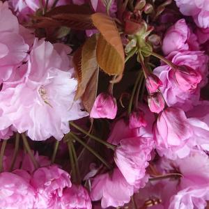 今年も桜の塩漬けを...