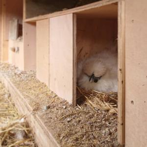 烏骨鶏が2羽、抱卵期...
