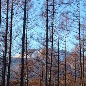 林越しの浅間山!