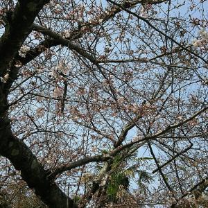 桜を見に尾道へ
