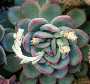 花芽がたくさんエケベリア