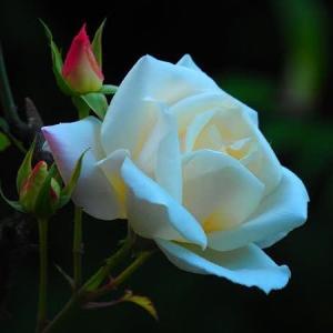 一輪の薔薇の花