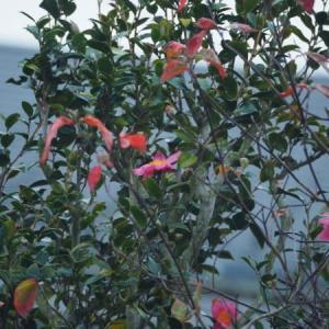 庭に山茶花