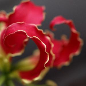 花束からグロリオーサ