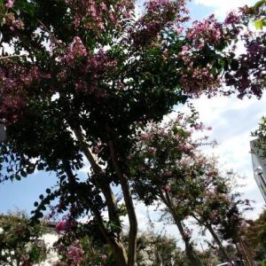 百日紅の街路樹