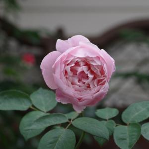 甘い香りのジアレンウィックローズが開花。不思議なドリームウィバー。
