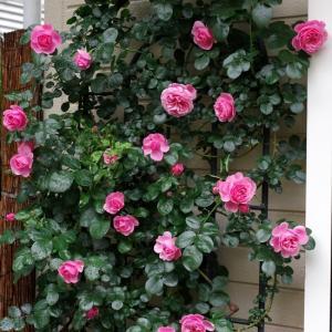 壁、フェンスを彩るつる薔薇達。レオナルド、コーネリア、アイスバーグ、アンジェラ。