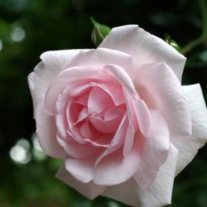 次々と開花。ニュードン、うらら、ミミエデンにボレロ。
