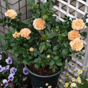 優しい杏色のガーデンオブローゼスが咲きそろった。