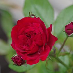 モナリザにアーチの主役のエクセルサ、ポンポネッラが開花。