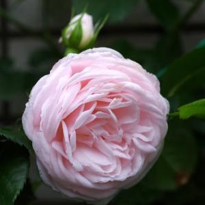 清楚、可憐なハンスゲーネパインが咲いた。ころっと可愛いベビーロマンティカも。
