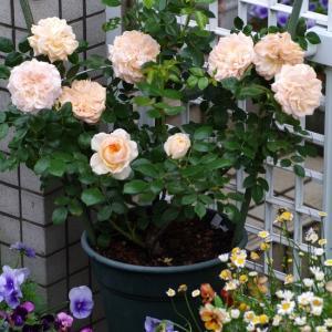 色が変化するガーデンオブローゼス。次々咲き進む薔薇たち。(37,38番手)