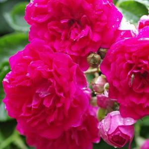 元気いっぱいのブレーズスペリオール、ラローズドゥモリナールが咲き出した。