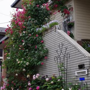 ダブルアーチが豪華に咲きそろった!! ブラッシュノアゼットが咲いたよ。