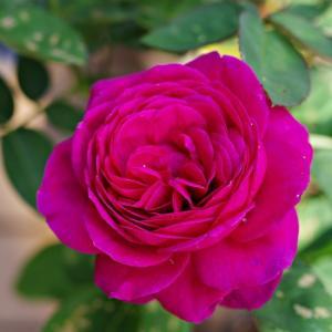 ハイデクルムローズが咲いた。ダブルアーチは今が最盛期か。