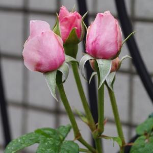 今日の薔薇。昨冬植え替え心配のナエマに蕾が。