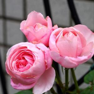 ナエマが綺麗に咲いた。いよいよ今春の薔薇のシーズンも終わり。