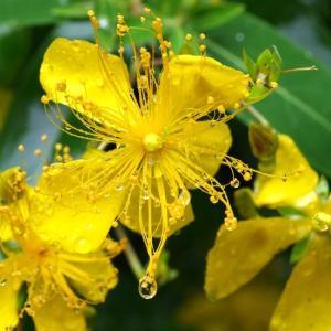 梅雨入り。ビヨウヤナギと紫陽花の季節。カラスに負けず枇杷を収穫したよ。