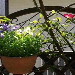 まずはカクテルが一輪開花。クレマチスも絶好調。