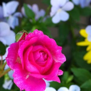 ピンクの薔薇ビジューがビオラ達に囲まれて。アブラハムも咲いた。