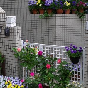 ハイデクルムローズ、るる、アクロポリスが開花。ペチュニアのポット上げ。