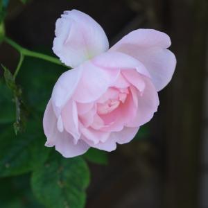 セプタードアイルにシェエラザード、そしてプリンセスオブウエールズが咲いたよ。