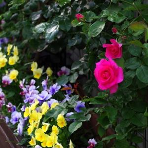 うらら、つるアイスバーグが開花。