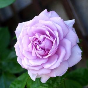 ガーデンオブローゼス、新顔のルシエルブルー、お馴染みのフランシスブレイズが咲いたよ。