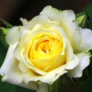 開花が続く。淡いレモン色の快挙、ピンクのERジアレン、ラビーニアが咲いた。