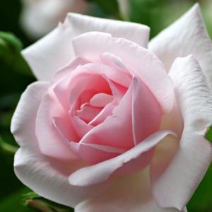 薔薇の木? ニュードンが咲いてきた。 明日は雨の予報なので今日のダブルアーチの様子。