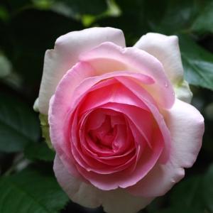 小雨降る中ピエールが咲いたよ。周回遅れのクレマチス。元気いっぱいレオナルド。ガーデンオブローゼス。