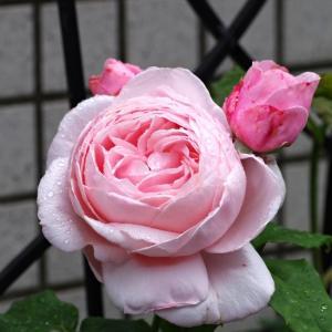 ナエマ、モリナール、オデッセイヤもどき(?)、ポンパドゥールが咲いたよ。