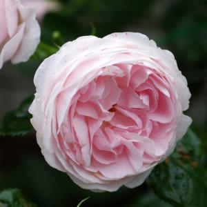 ハンスゲーネバインがいい感じに咲いてきた。ジークフリート、ボレロが咲いたよ。