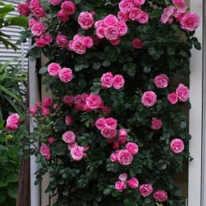 花持ち良く綺麗な姿を長く楽しませてくれるレオナルドダビンチ。とても優秀な薔薇。