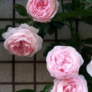 我が家の薔薇いよいよ終盤。ハンスゲーネバインが元気に咲いてくれている。ジャスミーナ、ポンポも。
