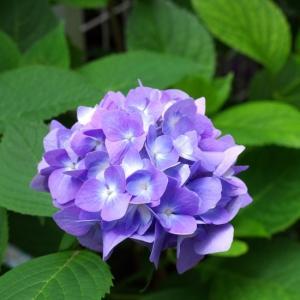 春の薔薇のシーズンが終わり紫陽花の季節へ。