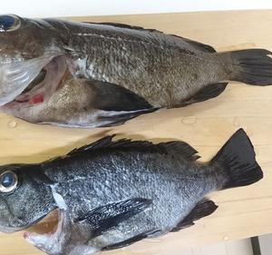 魚突きで初の尺メバル!