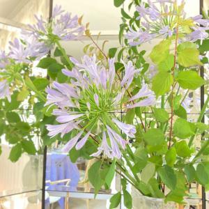 夏を彩る青紫の花、アガパンサス。