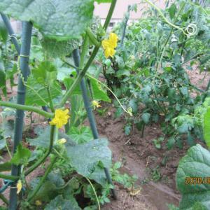 梅雨入りで「庭の植木・花」、「畑の野菜」が元気!!