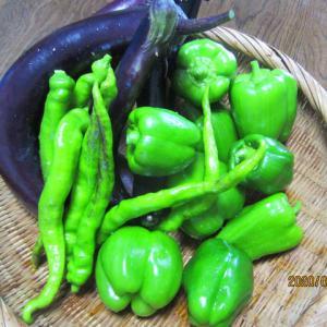 家庭菜園で大量の野菜収穫(キュウリ、ナス、ピーマン、ミニトマト)