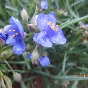 久しぶりの雨、元気を取り戻したつゆ草が庭を彩ります