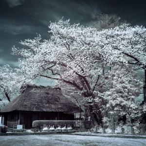 樹木と区別がつかないのに悲観して発狂した桜たち