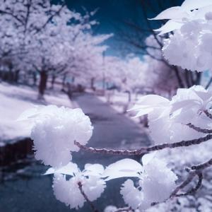 密やかに発狂する八重桜 - 私の桜 2020