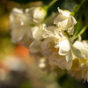 香り高く咲く白いモッコウバラ