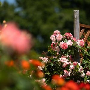 開花率95%の薔薇の公園