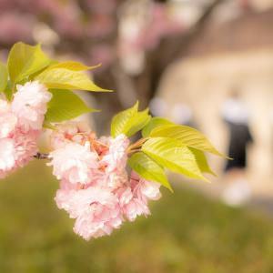 通学路を彩る満開の八重桜
