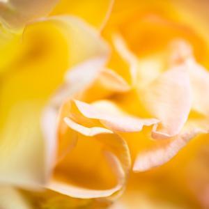 フライング気味な薔薇の季節