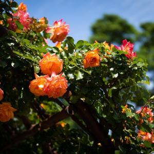 様々な色の薔薇が咲く公園