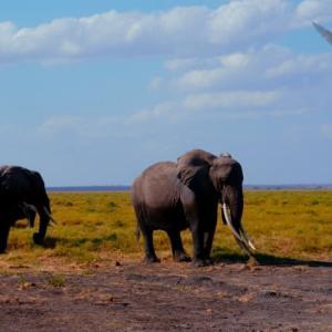 アフリカゾウ/ケニア お助け画像